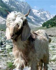 Pashmina Goat with Mountain in Background